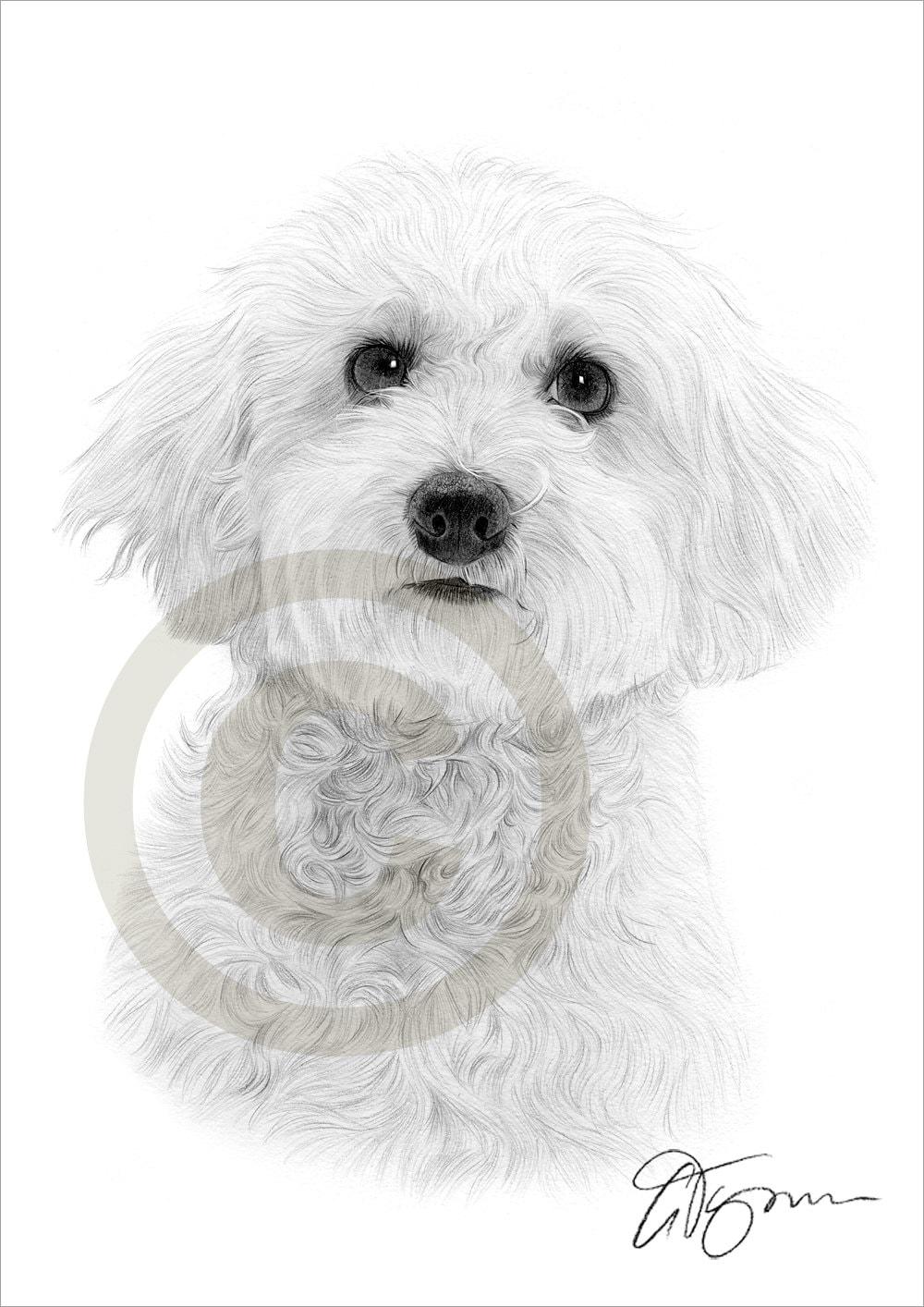 Toy Dog Bichon Frise Pencil Drawing Print A4 Size Artwork
