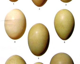 Bird Eggs - Dabbling Ducks, Diving Ducks - Teal, Shoveler, Wigeon, Scaup - Small Print - Bird Eggs Print - 1978 Vintage Book Page - 8 x 5