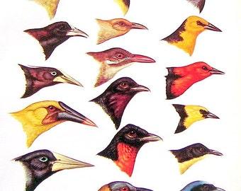 Small Bird Print - Bird Heads - Blackbird, Woodcreeper, Berryeater, Fruitcrow  - South American Birds - 1970 Vintage Book Page - 9 x 6