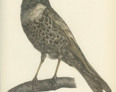 Ring Ouzel, Vintage Bird Print, Ornithology 110, Natural History 1959, Demartini, Country Cottage Decor, Rustic Cabin Decor, 8 x 10