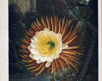 antique english botanical print night blooming corcus illustration DIGITAL DOWNLOAD