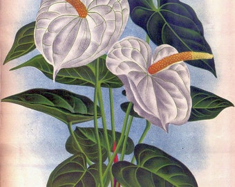 antique french botanical print white anthurium tropical flower illustration digital download