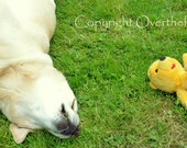 YELLOW LABRADOR Greeting Card  Napping Lab sleeps with Winnie the Pooh Bear
