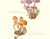 1962 Amethyst Deceiver - Laccaria amethystina, Waxy Laccaria - Laccaria laccata Vintage Offset Lithograph