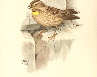 1953 Rock Sparrow - Petronia petronia Vintage Offset Lithograph