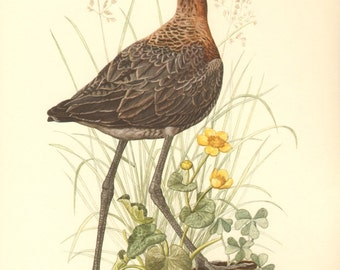1953 Black-tailed Godwit - Limosa limosa Vintage Offset Lithograph