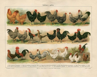 Vintage Print Poultry Hens and Roosters Antique Print Color Lithograph 1920