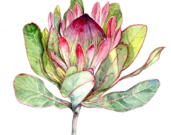 Protea Flower Botanica Art   - Art Print Watercolor 8''x10'' south africa flower green pink purple red nature botanical art nature plant