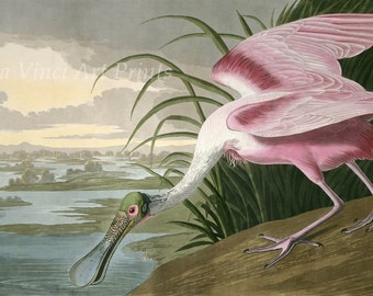 John James Audubon Reproductions - Birds of America, Roseate Spoonbill, 1836. Fine Art Print.