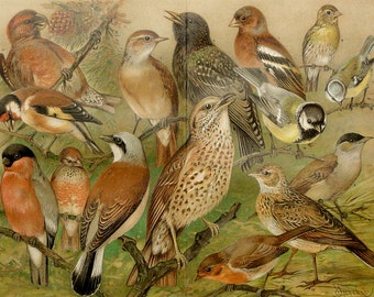 1900 Antique fine lithograph of SONGBIRDS: Nightingale, Goldfinch, Redbreast, Redwing, Bullfinch ... 114 years old gorgeous print.