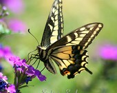 Black & Yellow Butterfly Wall Decor Nature Photography Swallowtail Butterfly Photo Fine Art Print