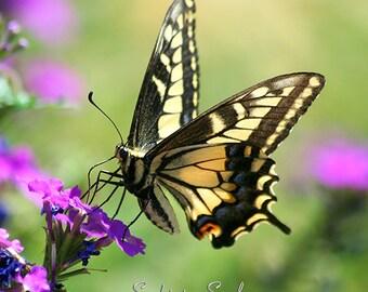 Black & Yellow Butterfly Wall Art, nature photography, Swallowtail butterfly photo, fine art print