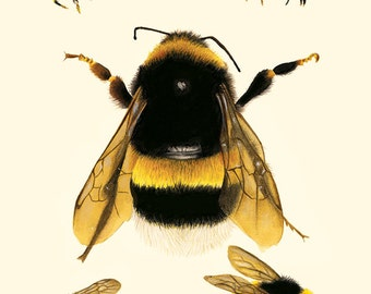 Bee Study Illustration - Save The Bees - Archival Print - 8x11