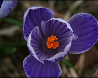 Spring Crocus Photography Print