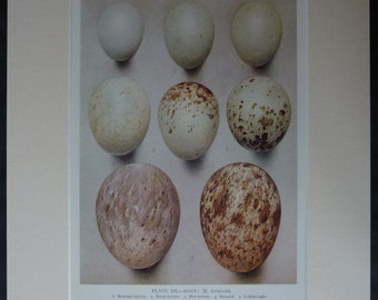 Vintage Natural History Print of Birds of Prey Eggs Painted by Henrik Gronvold 1930s nature decor, speckled bird egg art, Old Natural Colors