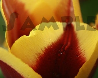 """Dewy Tulip Photography Print """"Just Peachy"""" (P0005)"""