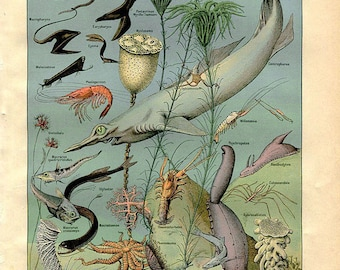 "Ocean , Sea  Life , Fishes, Squale - Antique French Lithography 1898's - Zoological Print - 7.8"" x 11.4"" - A9"