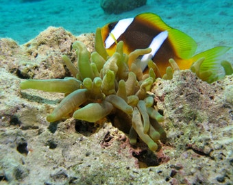 Digital photo for download - Anemone and Anemone fish in the coral reefs of the Red Sea