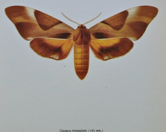 Vintage color book plate. Old print. The double haded hawk moth . 1966 illustration. 8 x 10'1 inches or 20'5 x 26 cm.