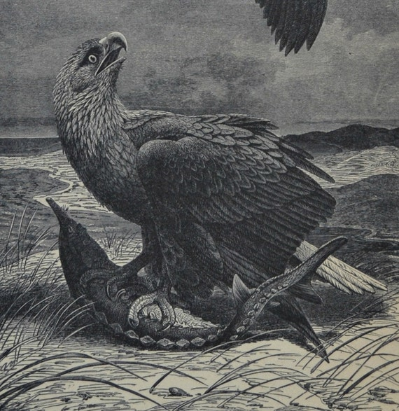 The white-tailed eagle print. Birds. Natural history engraving. Antique illustration 124 years old. 1890 lithograph. 9 x 12'3 inches.
