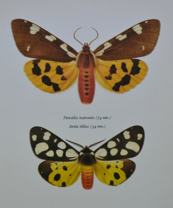 Large Tiger moth and Cream-spot Tiger. Vintage color book plate. Old print. 1966 illustration. 8 x 10'1 inches. Butterfly print.
