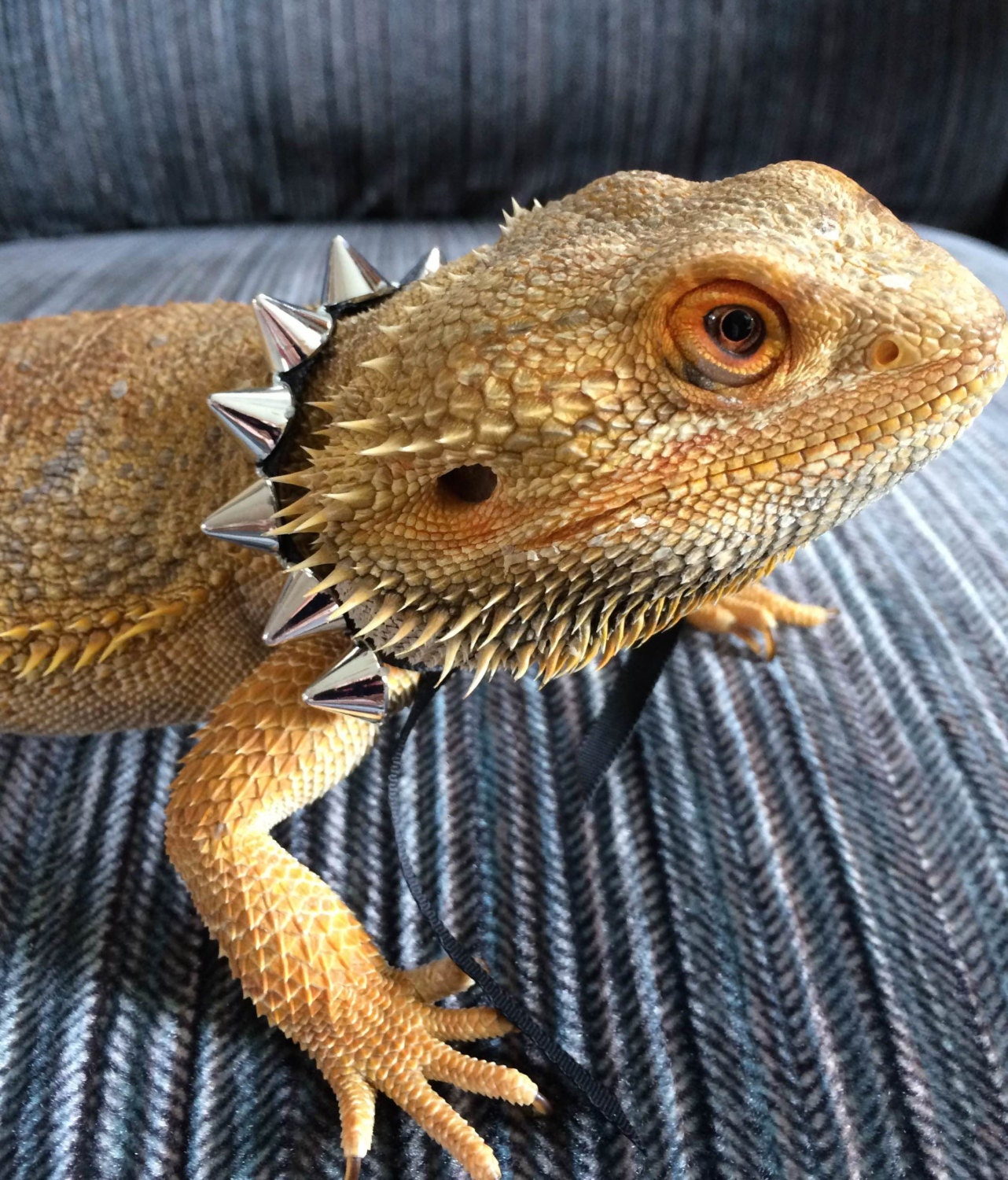 Silver Spike Collars For Bearded Dragons