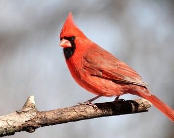 Male, Cardinal, bird, birds, art, print, photo, art, wall art, home decor, Missouri, songbird, nature photography, free shipping