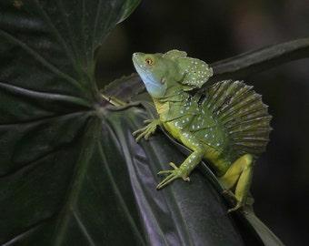 Baselisk lizard photographed in Costa Rica
