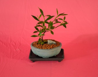 Indoor Bonsai, Dwarf Gardenia, (white flowers with scent) 3 years old,broom style
