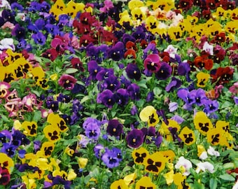 500+ Pansy Seeds- Swiss Giants Mix Flower Seeds