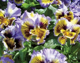 50 Pansy Seeds Frizzle Sizzle Yellow Blue Swirl FLOWER SEEDS