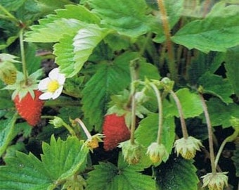 250 Seeds Wild Strawberry Baron Strawberry Seeds