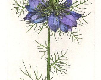 Love-In-A-Mist. Etching, watercolor. Original hand pulled print. Botanical print.