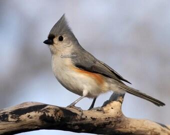 tufted, titmouse, photo, print, bird, birds, songbird, Missouri, home decor, wall art, nature photography, free shipping