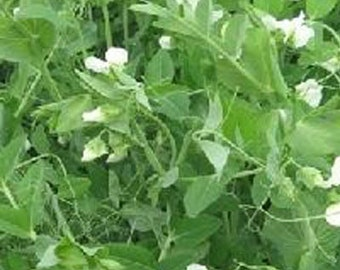 Frost Master Winter Pea Seed