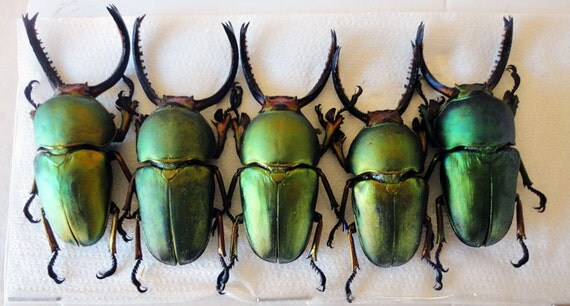 Supplies for your artworks - dried insects - :  Set of 5 stagbeetles Lamprima adolphinae   lucanidae UNMOUNTED A1 quality FREE SHIPPING