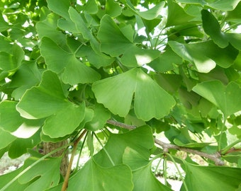 "Ginkgo Tree ""Maidenhair"""