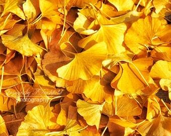 Ginko Leaves, Nature Photography, Fine Art Photography, Fine Art Print, Yellow, Leaves