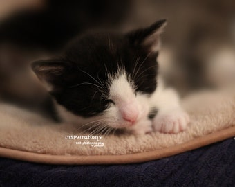 Precious - Kitten Photo - Sleepy Cat Portrait - Adorable Tuxedo - Cat Portrait- 4x6 Photo Print- Fine Art Photography - Cute Kitten Poster