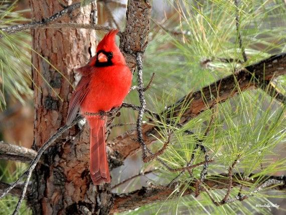 Red Cardinal Photos Bird Photography Free Shipping Fine Art