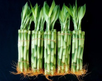 50 Stalks (5 Bundles) of 8 Inches Straight Lucky Bamboo Plants (FREE SHIPPING)