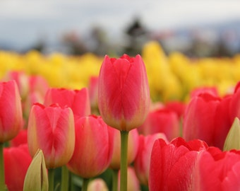 Nature Photography, Tulips, Flowers, Spring, Bright Pink, Yellow, Washington State, Tulip Fields, Canvas