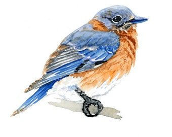 Eastern Bluebird Print -  Bird art - Watercolor bluebird - Wall Art - Home Decor - 5x7, 8x10, 11x14