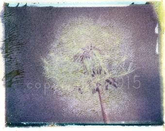 Polaroid transfer - Dandelion