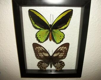 Huge Green Bird Wing Butterfly Pair