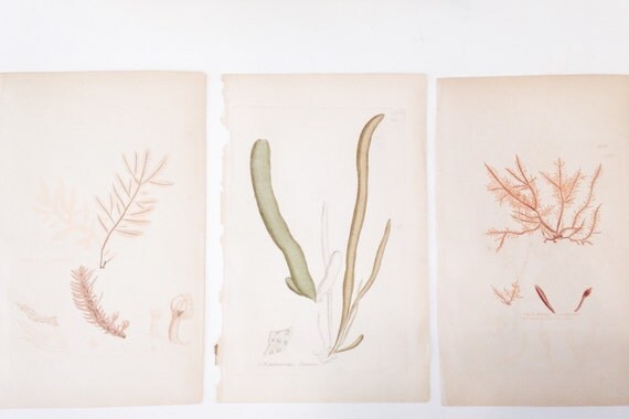 RESERVED Antique Seaweed Copperplate Engraving - Sowerby, 1800s