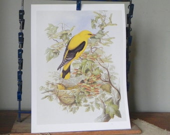 Vintage book plate print art print of yellow thrush male and female on tree with nest