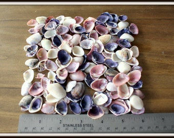 Violet Cay Cay Clam shells-3x4 bag small sea shells-Ocean shells-Tiny shells for fairy gardens-shells for terrariums-Shells for air ...