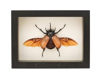Framed Rhinoceros Beetle Taxidermy Display