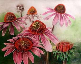 Coneflowers - original watercolor painting & colored pencil drawing